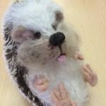 Hedgehog class